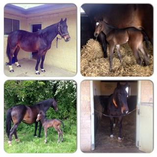 BROODMARE AND FILLY FOAL FOR SALE