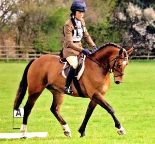 Potential 15hh Working Hunter