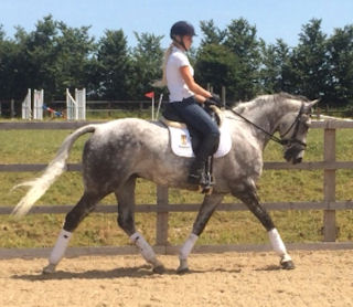 STUNNING ALL-ROUNDER / DRESSAGE HORSE WITH AN OUTSTANDING TEMPERAMENT
