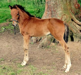 Superbly Bred Colt