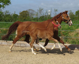 Flashy Chestnut Colt