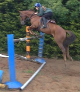 14.2 bay gelding with an FEI passport