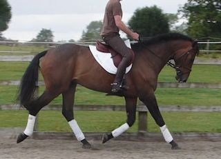 Stunning looking dressage horse