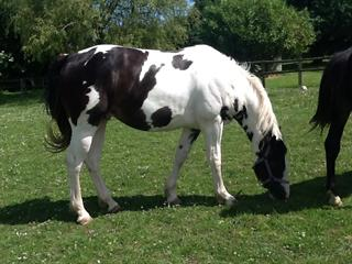 Gorgeous AES registered 2yo coloured gelding