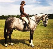 TOP CLASS COLOURED / DRESSAGE / PONY CLUB EVENTER