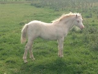 Cremello / Perlino Filly Foal