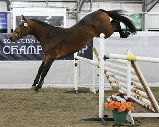 4 year old show jumping gelding