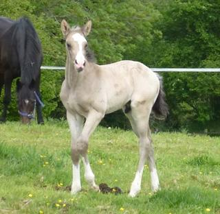 Flashy Buckskin Colt
