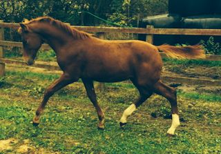 TOP QUALITY KWPN SHOW JUMPING BRED COLT FOAL WITH IMPECCABLE BREEDING