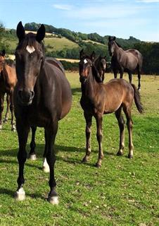 Filly by elite stallion Soliman De Hus