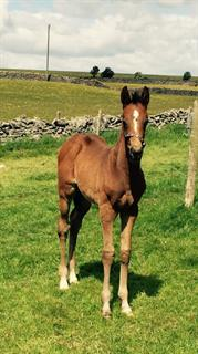 *Reduced *Stunning dark bay colt