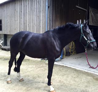 16hh Black Mare by Painted Black 10 Years Old