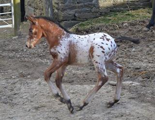 Spotted eventing colt foal