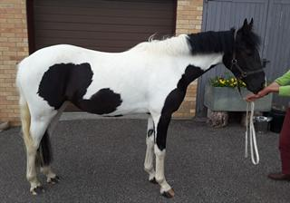 Outstanding Piebald Filly