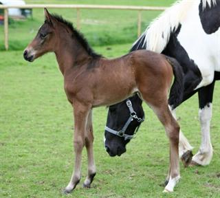 Quality part bred arab filly