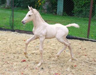 SUPER PALOMINO COLT FOAL FOR DRESSAGE