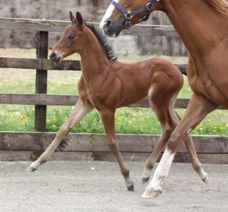 TOP QUALITY COLT FOAL TO MAKE 148CM SHOW OR SPORTS