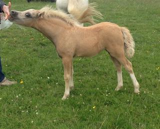 Welsh Section A Filly Foal