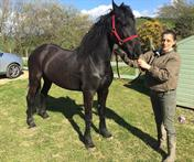 Stunning wow factor registered Friesian mare