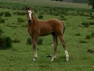 Top Quality Hanoverian X Foals