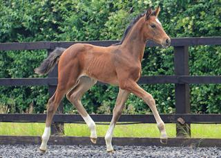 Serious  Hanoverian Dressage Filly Foal