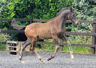 International Dressage Colt Foal