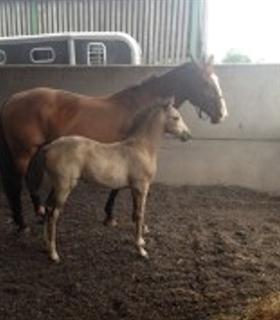 Quality mare and foal for sale