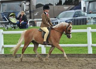 12hh Welsh Section A Gelding