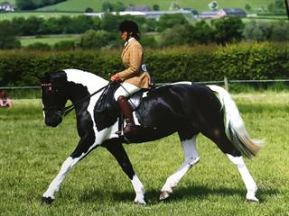 Stunning coloured show cob