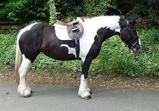 15.3hh Stunning quality Cob mare with a kind gentle nature