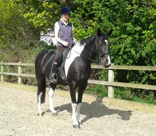 QUALITY 15.3hh MARE