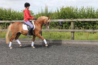 Super Allrounder Pony for sale